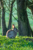 Individual rabbit at easter Royalty Free Stock Photography