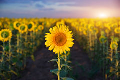 Individual sunflower. Meadow of sunflowers stock photography