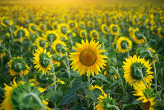 Individual sunflower. Meadow of sunflowers stock image