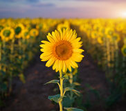 Individual sunflower. Meadow of sunflowers royalty free stock photography