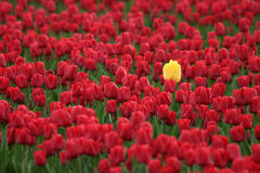 Individualism I. Yellow tulip bucking the trend.  Skagit Valley, Washington State Royalty Free Stock Photos