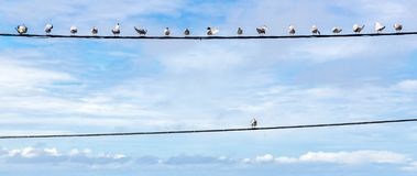 Individuality symbol, think out of the box, independent thinker concept. Group of pigeon birds on a wire. royalty free stock photography