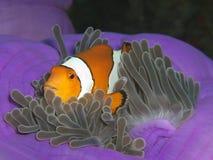 Individuazione del Nemo Immagine Stock