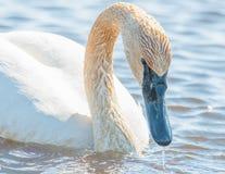 Individuell simning för trumpetaresvan - som tas under de tidiga vårflyttningarna på området för Crexängdjurliv i nordliga Wisco royaltyfri bild