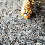 Individuo de la libélula imagen de archivo