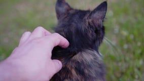 Individuo que rasgu?a el gato detr?s del o?do con su mano Cierre para arriba Las vueltas animales del placer y frotaciones contra almacen de video