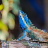 Indo-Chinese Bloodsucker. Lizard,dragon , Chameleon , Blue-crested Lizard , Indo-Chinese Forest Lizard  , Indo-Chinese Bloodsucker Stock Image