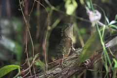 Indo-chinese spiny lizard Royalty Free Stock Images
