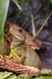 Chinese water dragon, Physignathus cocincinus. stock images