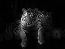 Indo-chinesischer Tiger Stockfotos