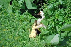 The Indo-duck takes away ducklings in dense bushes to hide. Rural farm of poultry stock photos