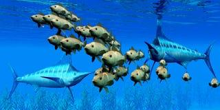 Marlin hunt Bocaccio Rockfish Royalty Free Stock Photo