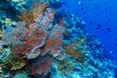 Indo pacific coral reef Royalty Free Stock Photos