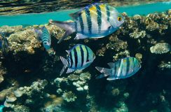 Indo-Pacific Sergeants, Red Sea region. Indo-Pacific Sergeants, underwater shot, Red Sea coral reef royalty free stock photos