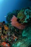 Indo-Stillahavs- sergeant för Damselfish, seafan anellamollis i Gili, Lombok, Nusa Tenggara Barat, Indonesien undervattens- foto arkivfoton