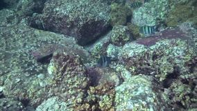 Indo-vreedzame vaigiensis van sergeantabudefduf in de golf van Fujairah de V.A.E Oman stock videobeelden