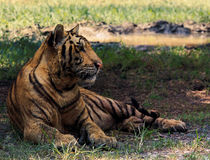Indochina tiger lying in field Stock Photo