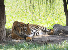 Indochina tiger lying on field Royalty Free Stock Image