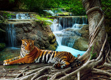 Indochina tiger lying with relaxing under banyantree against bea Royalty Free Stock Image