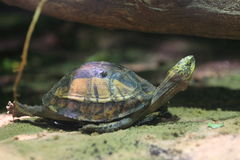 Indochinese box turtle Royalty Free Stock Photos