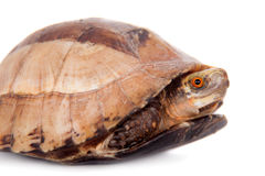 The Indochinese box turtle on white. The Indochinese box turtle, Cuora galbinifrons, isolated on white background Royalty Free Stock Images