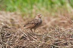 Indochinese Bushlark Stock Photo