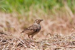 Indochinese Bushlark Stock Photography