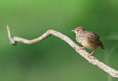 Indochinese Bushlark Royalty Free Stock Photography