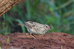 Indochinese Bushlark Stock Image