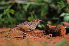 Indochinese Bushlark Stock Images