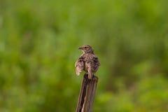 Indochinese Bushlark Mirafra erythrocephala Royaltyfria Bilder