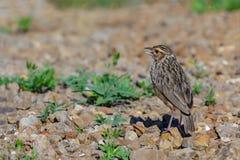 Indochinese Bushlark or Mirafra erythrocephala. Indochinese Bushlark or Mirafra erythrocephala, beautiful bird standing on ground Stock Images