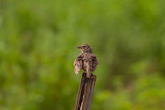 Indochinese Bushlark Mirafra erythrocephala Royalty Free Stock Images