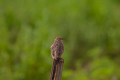 Indochinese Bushlark Mirafra erythrocephala Royalty Free Stock Photos