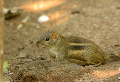 Indochinese Ground Squirrel (Menetes berdmorei) Stock Image
