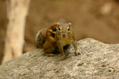 Indochinese Ground Squirrel (Menetes berdmorei) Royalty Free Stock Photos