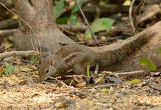 Indochinese Ground Squirrel (Menetes berdmorei) Royalty Free Stock Images