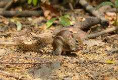 Indochinese Ground Squirrel (Menetes berdmorei) Royalty Free Stock Image