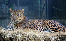 Indochinese leopard Stock Image