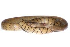Indochinese rat snake Royalty Free Stock Photo