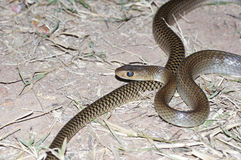Indochinese rat snake Stock Photo
