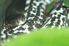 Indochinese spitting cobra Stock Image