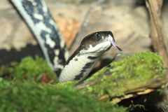 Indochinese spitting cobra. With sticking tongue Stock Images