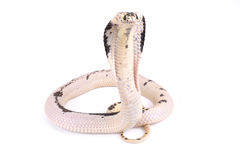 Indochinese spitting cobra ,Naja siamensis Stock Photos