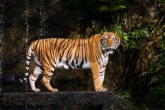 indochinese tiger Fotografering för Bildbyråer