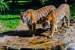 Indochinese tiger, or Corbett`s tiger in the open zoo Stock Photo