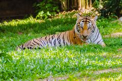 Indochinese tiger, or Corbett`s tiger, or Panthera tigris corbet Stock Photo