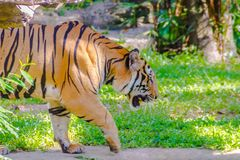 Indochinese tiger, or Corbett`s tiger, or Panthera tigris corbet Stock Images