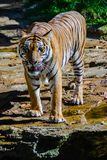 Indochinese tiger, or Corbett`s tiger, or Panthera tigris corbet Royalty Free Stock Photography