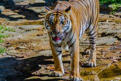 Indochinese tiger, or Corbett`s tiger, or Panthera tigris corbet Stock Photography
